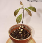 The A to Z of growing Avocado Trees indoors